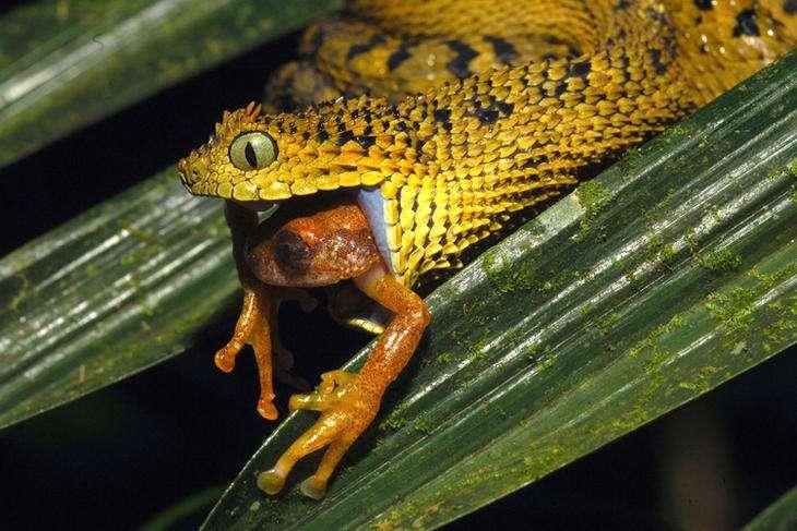 Atheris ceratophora est un serpent de la famille des vipéridés. C'est une espèce endémique de la Tanzanie. © Michele Menegon