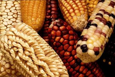 Différentes variétés de maïs © Keith Weller - Photo domaine public