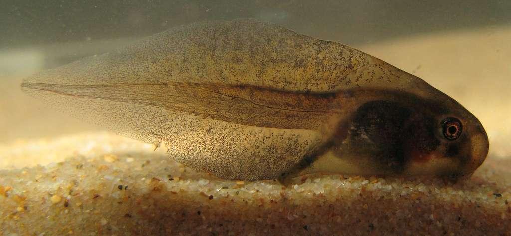 La métamorphose chez le têtard est sous le contrôle des hormones thyroïdiennes. Des similitudes ont été observées avec la régénération de la queue du lézard. © LiquidGhoul, Wikimedia Commons, cc by sa 3.0