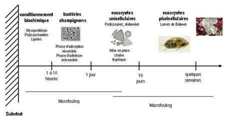 Le processus de colonisation d'un substrat plongé dans l'eau de mer est appelé fouling. Il se décompose en quatre grandes séquences dépendant de la précédente. Juste après immersion d'un substrat et de son conditionnement biochimique, les organismes microscopiques vont se fixer, suivis des organismes macroscopiques unicellulaires. Les organismes pluricellulaires vont se fixer enfin. © : A. Simon-Levert