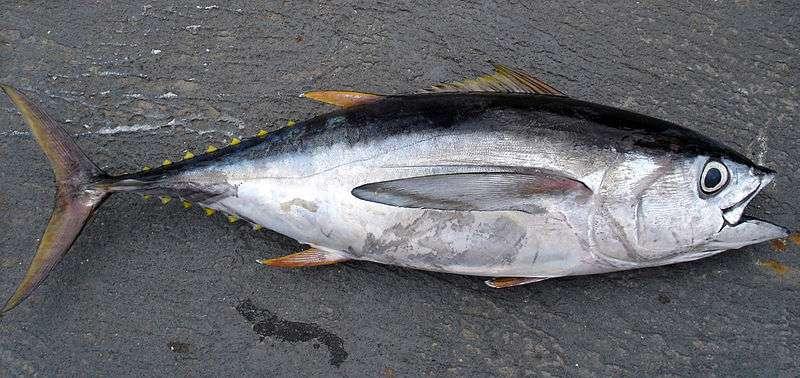 Thunnus obesus. L'élevage de thons en cage au large est l'une des évolutions possibles de la culture des poissons marins. © Allen Shimada, NOAA NMFS OST, DP