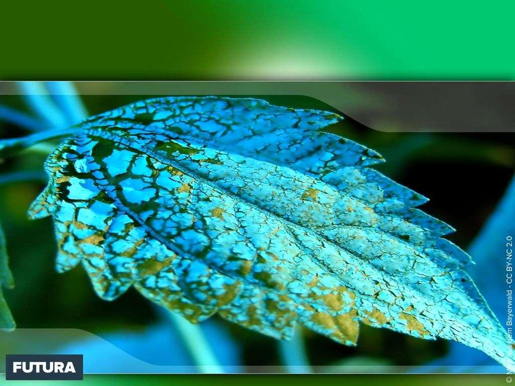 Feuille bleutée