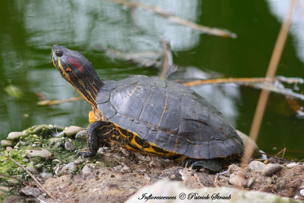 Trachemys scripta elegans, aussi appelée tortue de Floride. © Patrick Straub