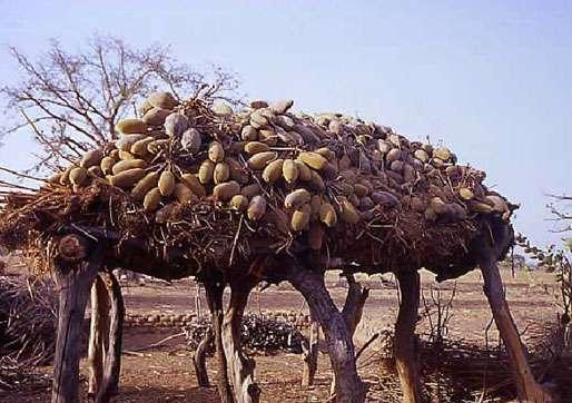 Séchage de fruits de baobab au Sénégal. © ICUC Reproduction et utilisation interdites