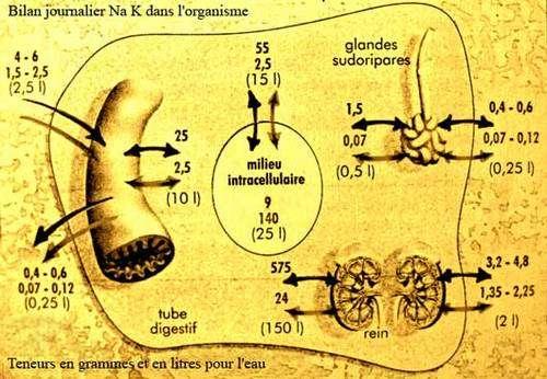Bilan Na K et eau au quotidien dans l'organisme humain