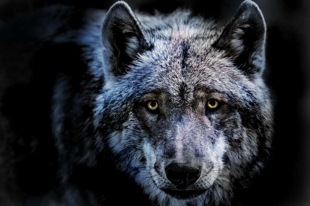 D'après cette étude, les chiens domestiques seraient issus d'une seule population de loups. Cette conclusion devra être confirmée par des études ultérieures. © Rainer Fuhrmann, Adobe Stock