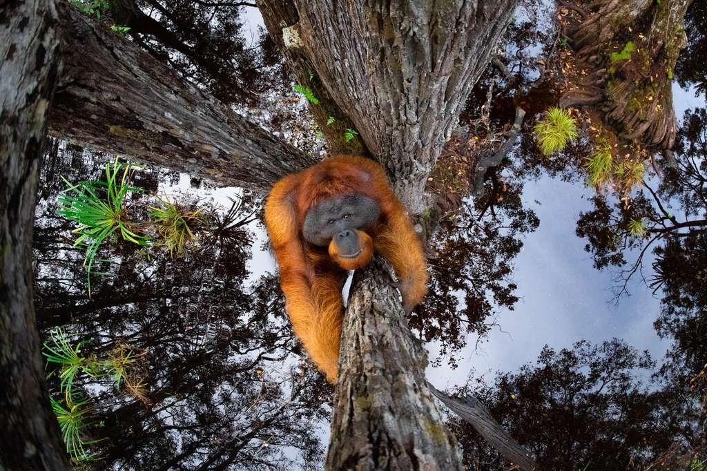 Orang-outan de Bornéo, Tanjung Puting National Park, Bornéo. © Thomas Vijayan, World Nature Photography Awards