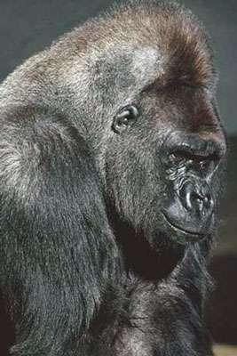 Buste de gorille. © DR