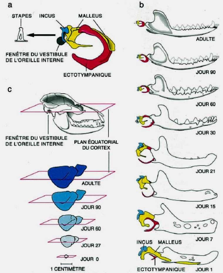 Développement simultané de l'oreille moyenne et de la mandibule avec le néocortex chez l'embryon de sarigue. Les observations ont été faites sur des embryons qui ont quitté l'utérus et la poche marsupiale et comptées en jour. © Jean-Louis Hartenberger
