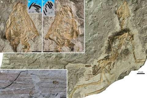 Cliquez pour agrandir. Epidexipteryx hui et sa queue formée de quatre longues plumes (d). Crédit : Nature
