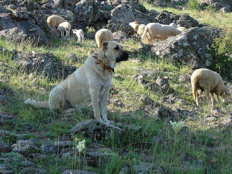 Chien anatolien Kangal, gardien de troupeaux. © Anka Friedrich, CC by 3.0