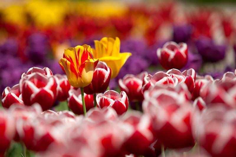 Les tulipes au petit matin. © Tuku, Pixabay, DP
