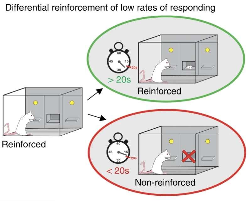 Les chercheurs ont entraîné des rats à appuyer sur un levier pour recevoir une pastille de nourriture. Si un rat appuyait trop tôt, celui-ci devait patienter 20 secondes de plus pour obtenir la pastille. © Nature, CC by 4.0