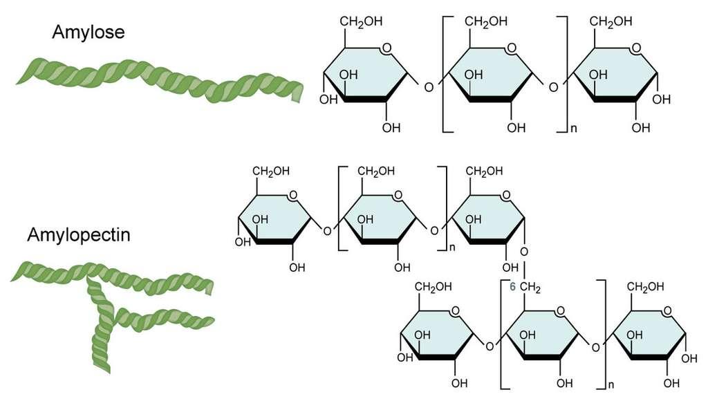 L'amidon est composé de deux polysaccharides, l'amylose et l'amylopectine. © CNX OpenStax, CC By 4.0