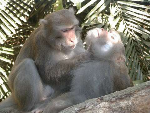 Macaques de Formose mâles. © Minna J. Hsu, domaine public