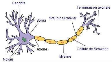 Schéma d'un neurone: la gaine de myéline entoure l'axone et contribue à la propagation du message nerveux © Selket CC BY-SA 3.0/Wikimedia Commons