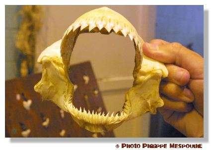 Les dents du requin possèdent de nombreuses caractéristiques étonnantes. Ici, une mâchoire. © P. Mespoulhé