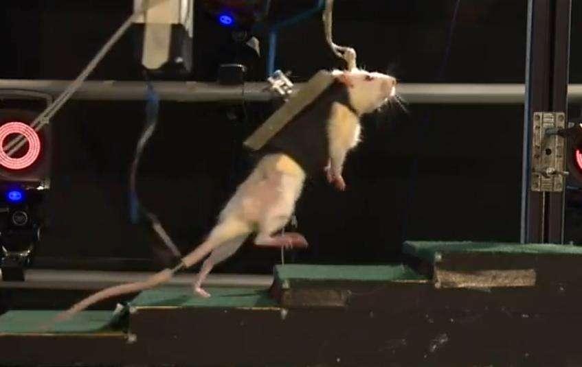 Les rats paralysés des membres inférieurs, maintenus en position verticale par un harnais robotisé qui les suit durant leurs déplacements, sont parvenus à marcher, courir et même à monter des marches. © Capture d'écran depuis Youtube, epflnews
