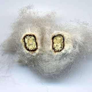Fruit de coton sectionné. On observe l'émergence des fibres sur le tégument des graines © B.Media