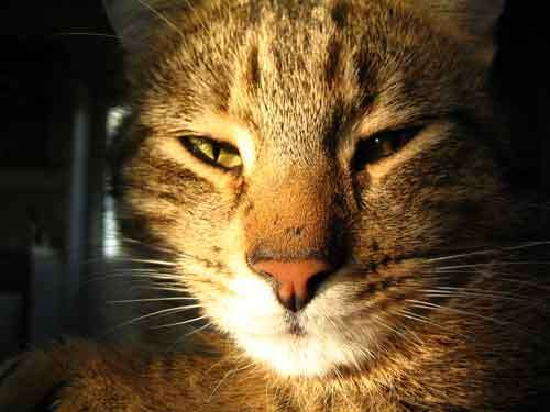 Chat. © Toute reproduction et utilisation interdites