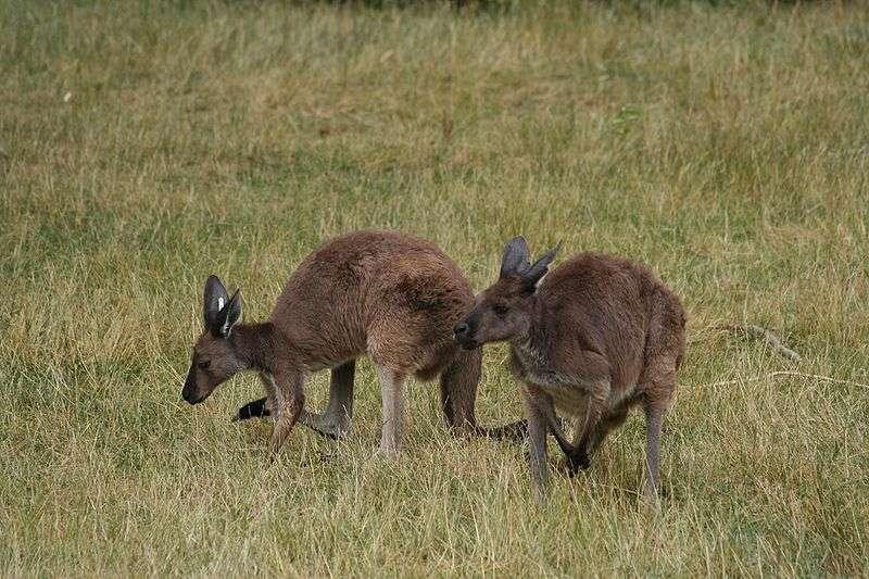 Kangourous gris au zoo de Toronto. © Ber'Zophus, Wikipédia, cc by sa 2.5