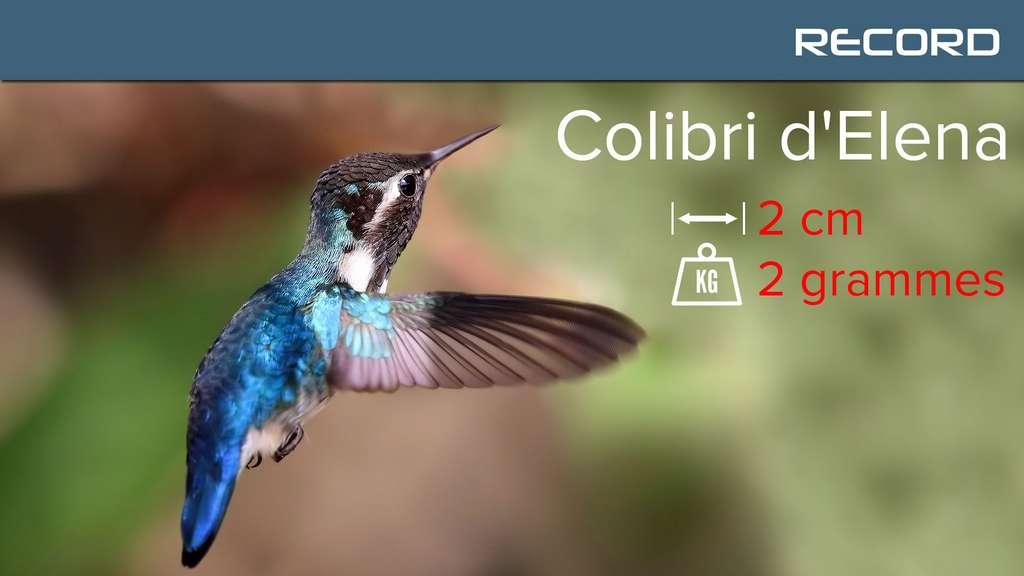 Le colibri d'Elena, un poids plume parmi les colibris