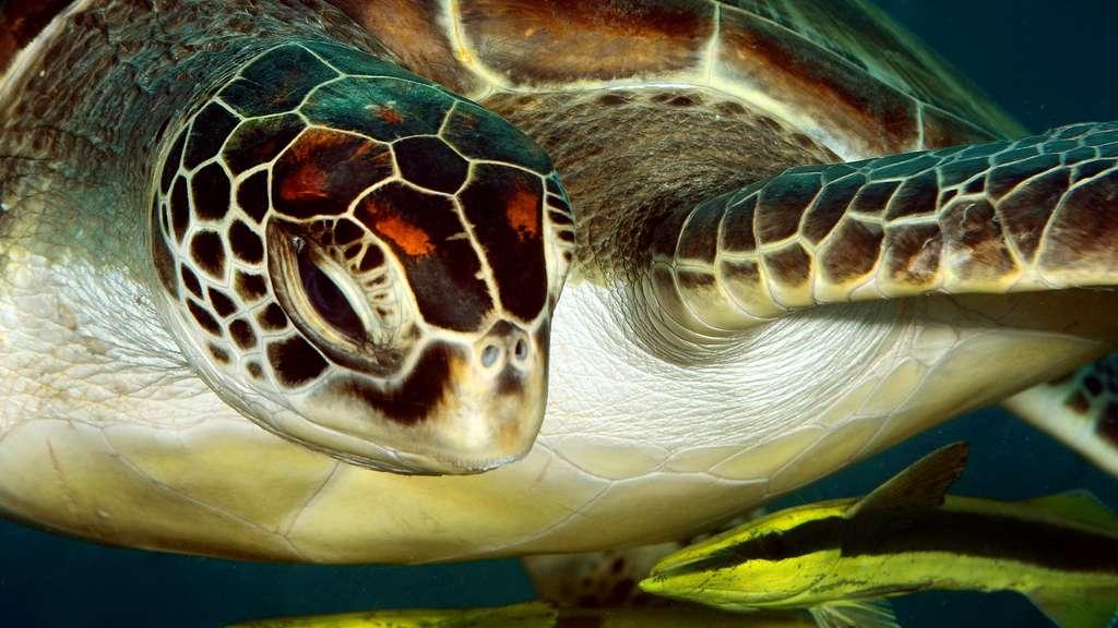 Une tortue regardant des rémoras