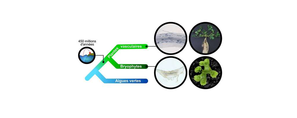 Arbre phylogénétique des plantes. Les plantes vasculaires et non-vasculaires forment une symbiose avec des champignons. Cercles de gauche : le champignon est coloré en bleu dans une racine de luzerne tronquée (haut) ou un thalle de M. paleacea (bas). Cercles de droite : luzerne tronquée (haut), M. paleacea (bas).