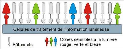 Répartition cônes et bâtonnets. © Reproduction et utilisation interdites