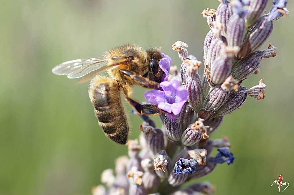 Les cinq régions du Sud de la France regroupent 43 % des apiculteurs, 51 % des ruches et 52 % de la production de miel. © laurentmorand, Flickr, cc by nc nd 2.0