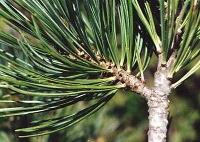 Pinus cembro © crdp Besançon
