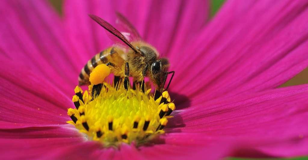 Pollen récolté sur les pattes d'une abeille. © Ordan Lye, Shutterstock