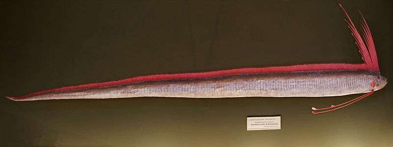 Régalec (Muséum d'histoire naturelle de Vienne). © Sandstein, CCP 3.0 Unported