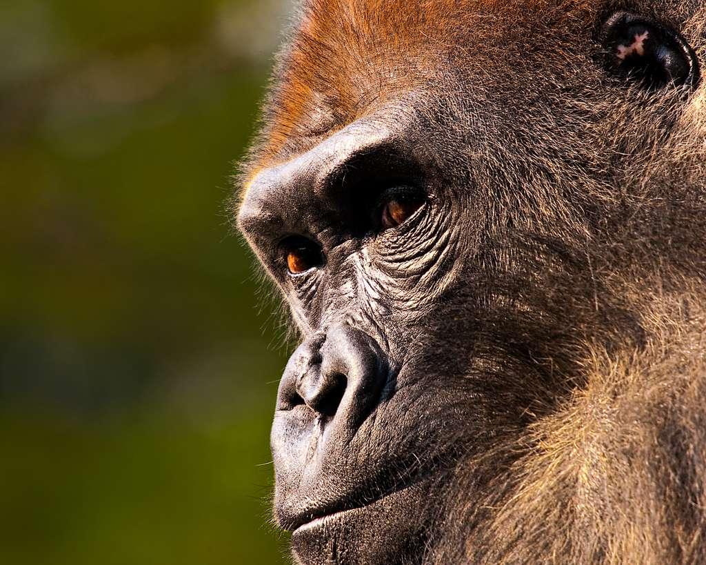 Les gorilles peuvent aussi être infectés par le parasite du paludisme. Les espèces de Plasmodium impliquées sont cependant différentes de celles de l'Homme ou du chimpanzé. © davidandbecky, Flickr, cc by nc nd 2.0