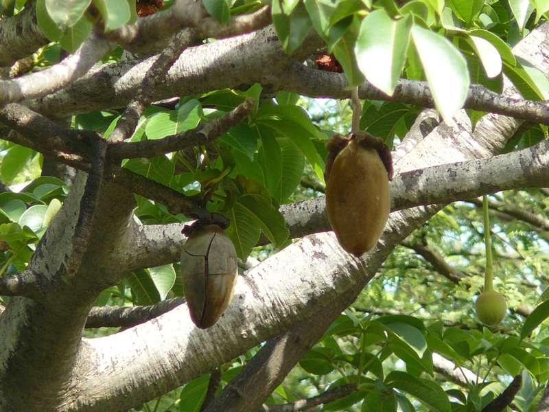 D'appétissants fruits de baobab