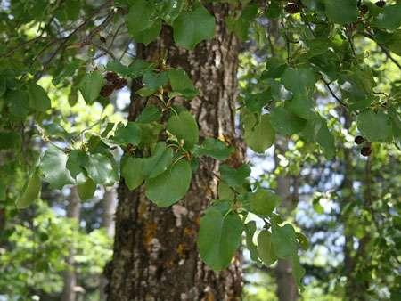 L'aulne à feuilles en cœur. © Franz Xaver Licence Creative Commons Paternité – Partage des conditions initiales à l'identique 3.0 Unported