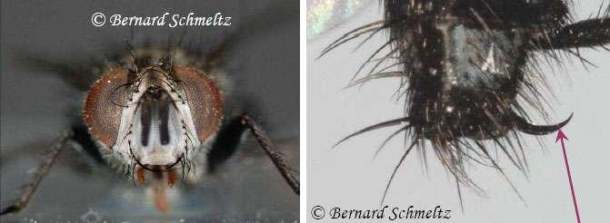 À gauche, portrait de face de Compsilura concinnata. À droite, son organe de ponte. © Bernard Schmeltz