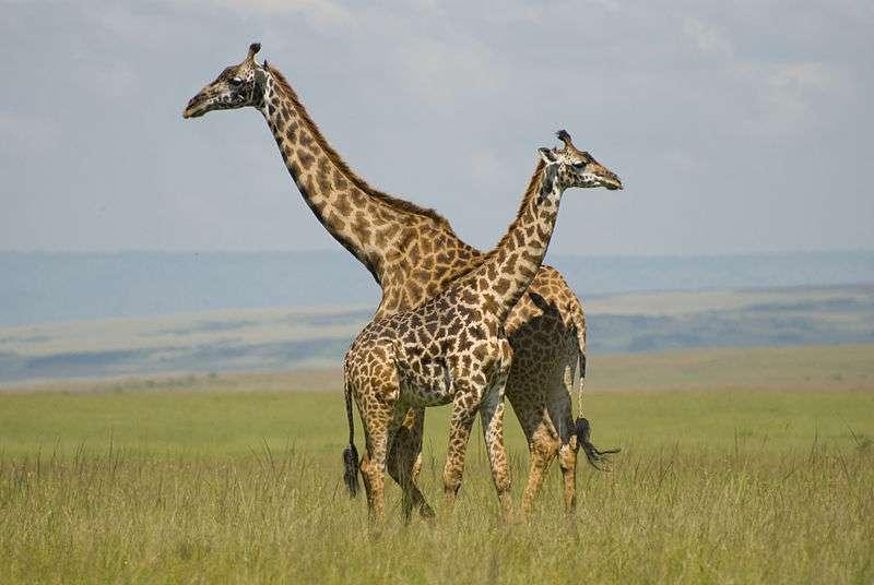 Girafe masaï et son girafon dans le parc de Masaï Mara, au Kenya. © Paul Mannix, Wikipédia, CC by-sa 2.0