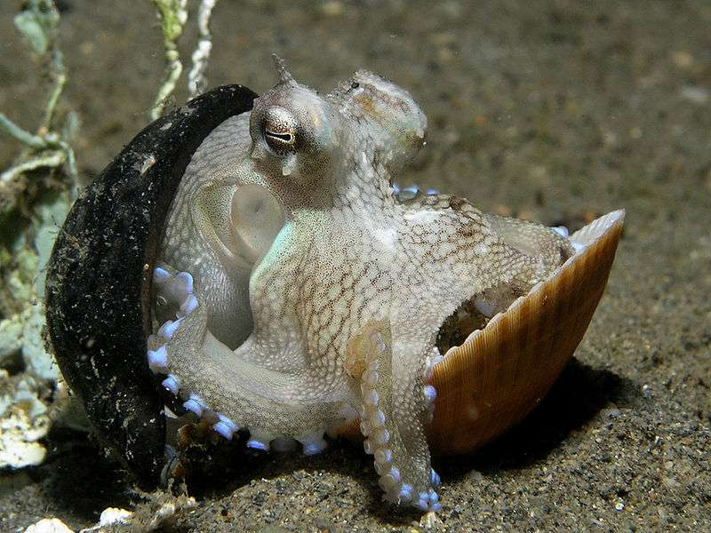 Octopus marginatus. © Nick Hobgood, CCA-SA 3.0 Unported license