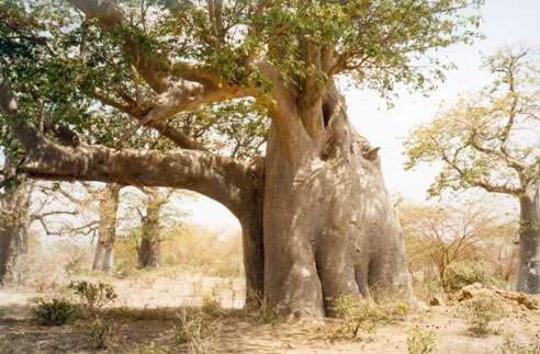 Baobab « éléphant » dans la réserve de Bandia au Sénégal. © S. Garnaud - Reproduction et utilisation interdites