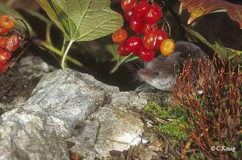 Sorex antinorii, musaraigne du Valais. Cette espèce est aussi présente en France. Elle fait la couverture de la seule monographie en français sur les musaraignes. © Toute reproduction et utilisation interdites