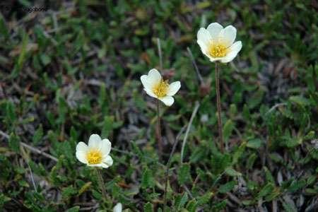 En zone arctique, les fleurs n'ont que quelques semaines pour éclore, fleurir et se reproduire © Eric Brossier - Vagabond