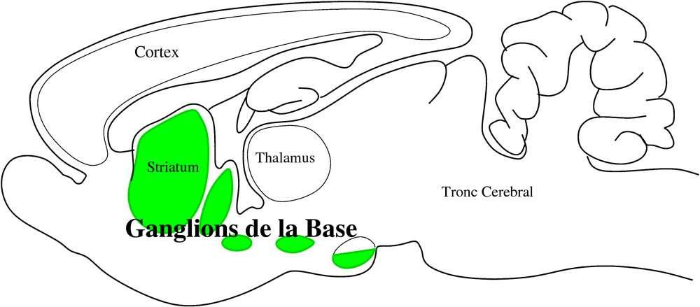 Schéma du cerveau du rat montrant l'emplacement des noyaux sous-corticaux appelés les ganglions de la base, qui sont importants pour la sélection de l'action. © Redgrave, Guerney, Prescot ABRG/ISIR/Girard Benoît