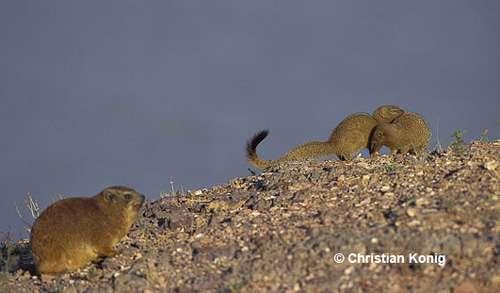 Cohabitation avec les mangoustes. © Christian König - Reproduction et utilisation interdites