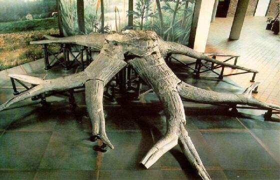 Cette racine de sigillaires, un genre aujourd'hui éteint, est conservée au musée de Genève. Ces plantes pouvaient atteindre 30 mètres de hauteur. Elles seraient apparues vers la fin du Carbonifère puis auraient disparu au début du Permien. Le tronc était recouvert de feuilles d'apparence herbeuse. © Musée de Genève, DR