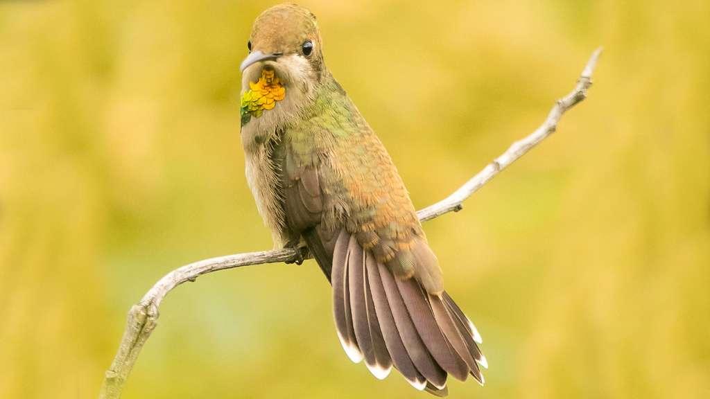 Colibri rouge jeune
