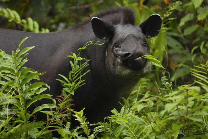 Tapir du Brésil (Tapirus terrestris), le plus gros mammifère terrestre des jungles d'Amérique. © Sylvain Lefebvre et Marie-Anne Bertin