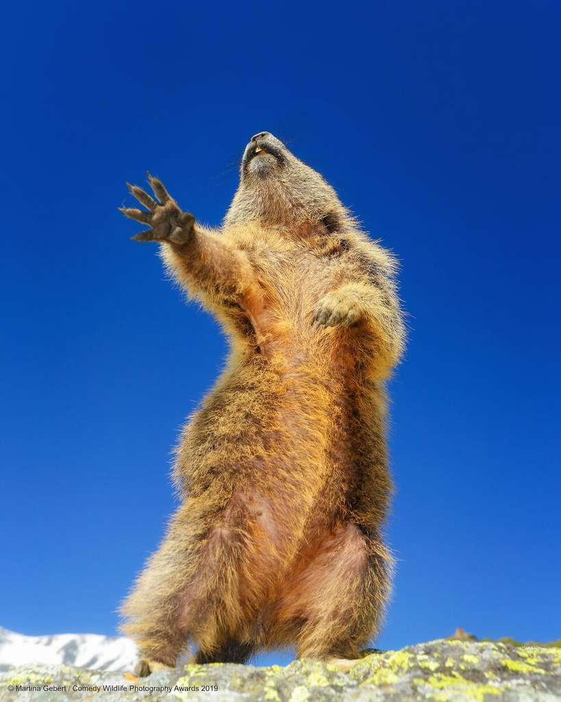 Une marmotte en pleine chorégraphie. © Martina Gebert, Comedy Wildlife Photography Awards