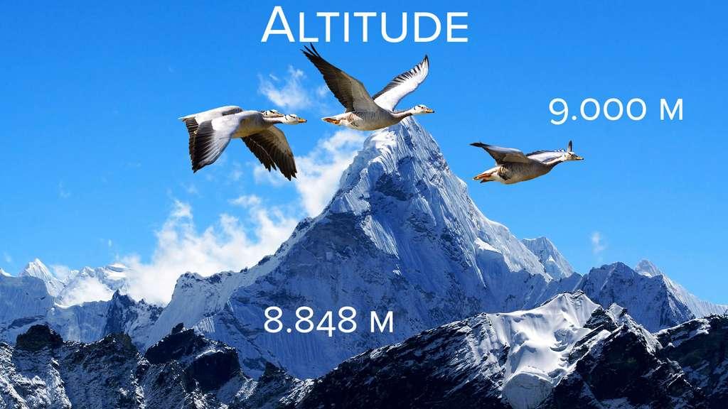 Altitude : les oies à tête barrée dépassent l'Everest