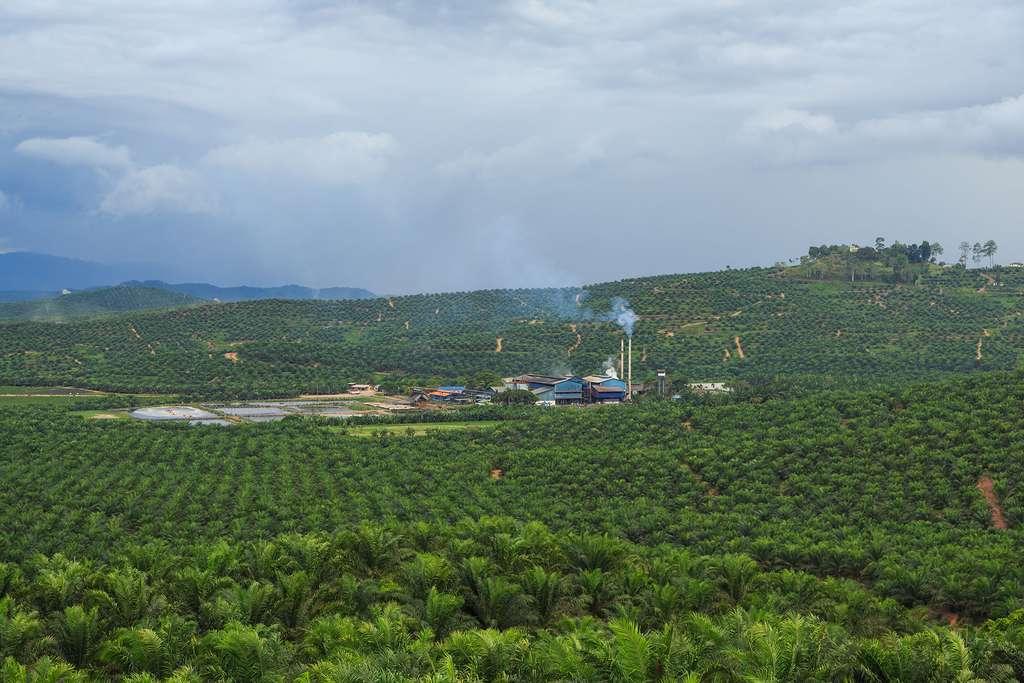 Champs de palmiers à huile. © CEphoto, Uwe Aranas, wikimedia commons, 3.0